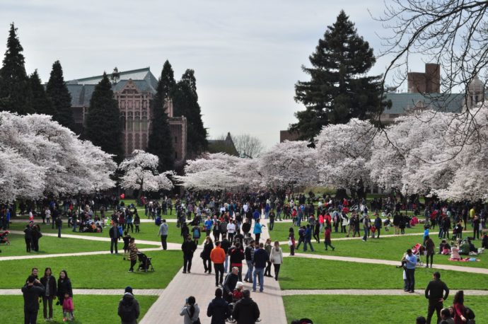 University of Washington Quad Cherry Blossoms